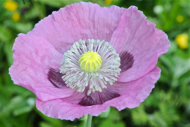 An easy annual poppy papaver somniferum a way to garden first of course the elephant in the flower bed of course we used to call them opium poppies but then everybody worried theyd get arrested mightylinksfo