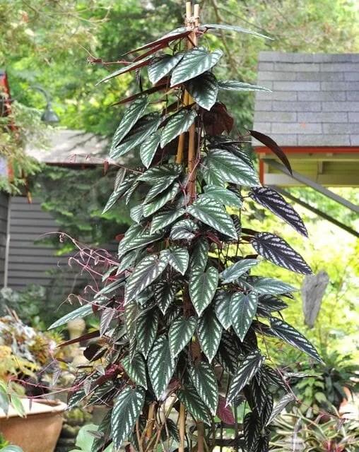 Rex begonia vine, or Cissus discolor