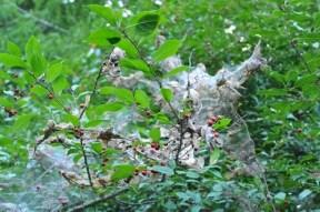 fall-webworm-on-hollies