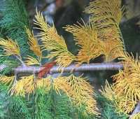when inner conifer needles turn yellow or brown