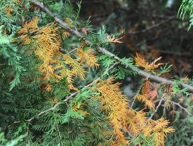 browning inner Chamaecyparis needles