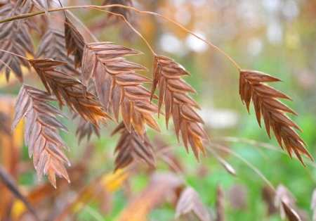 Northern sea oats, upland or inland sea oats