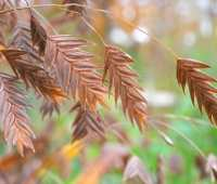 chasmanthium, a native grass for shade