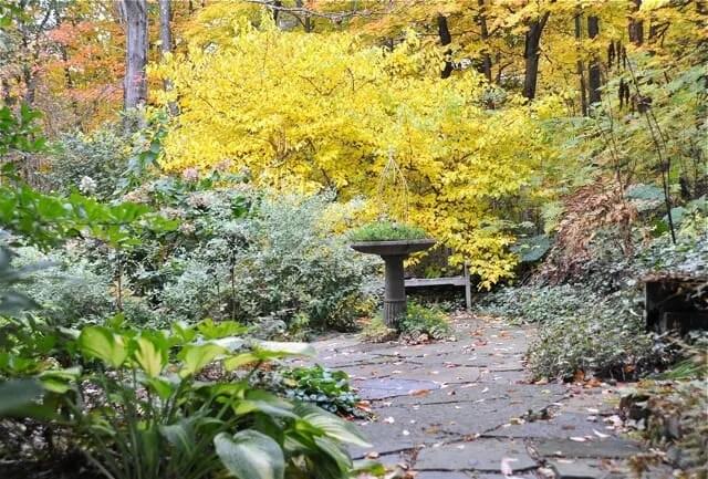 lindera fall color