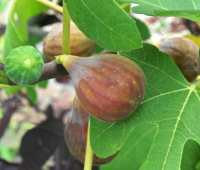 how to overwinter a potted fig