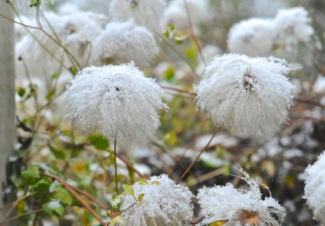 clematis-tangutica-snow-covered