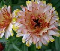 talking calendula, salads, and beneficial insects with frank morton of wild garden seed