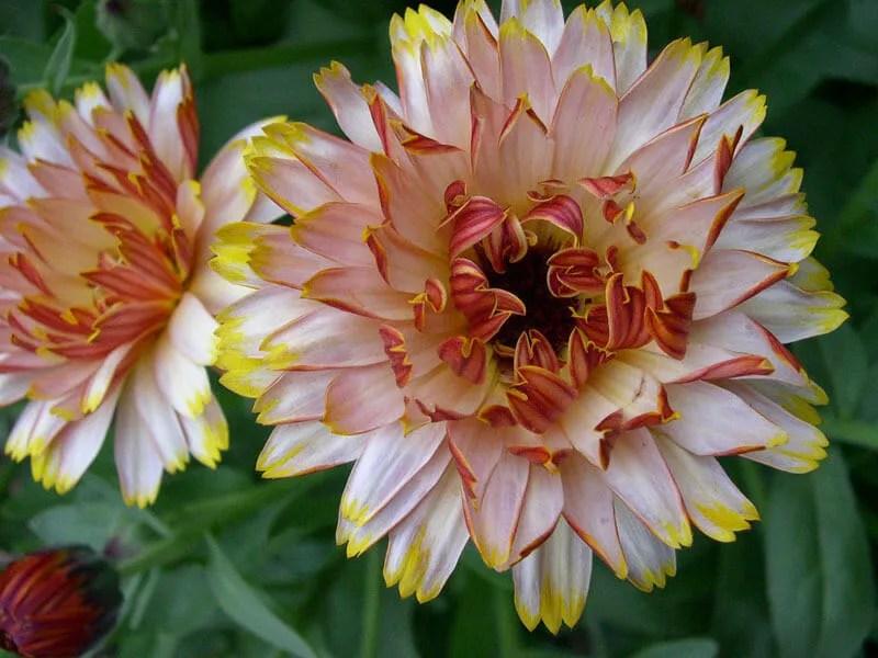 Solar Flashback calendula Wild Garden Seed