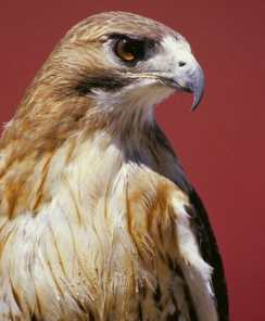 Red-tailed Hawk eye Beth Jackson FWS