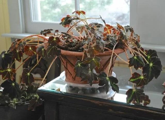 rhizomatous begonia before trimming