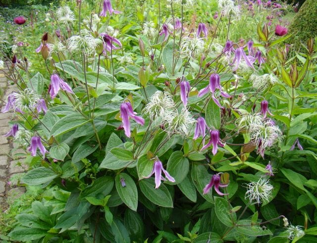 From Brushwood, form of Clematis integrifolia called 'Floris V'