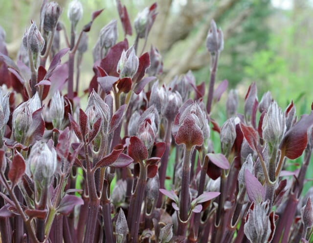 Clematis recta purpurea foliage emerging