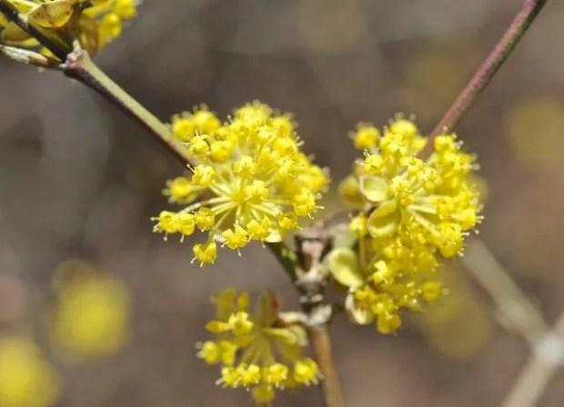 Cornus mas flower detail