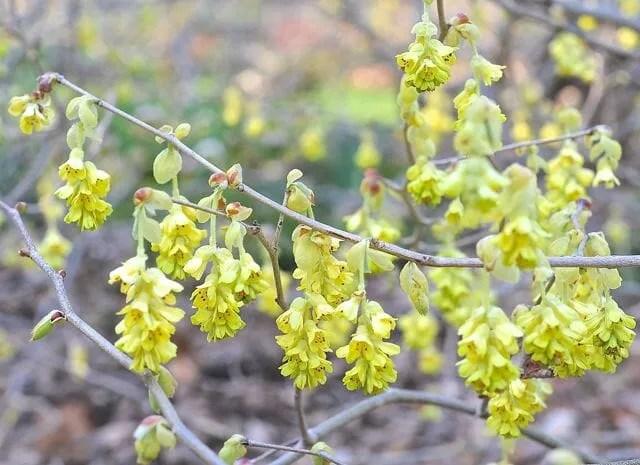 Beating forsythia to springs flowering shrub punch a slideshow of corylopsis spicata or winter hazel blooming mightylinksfo
