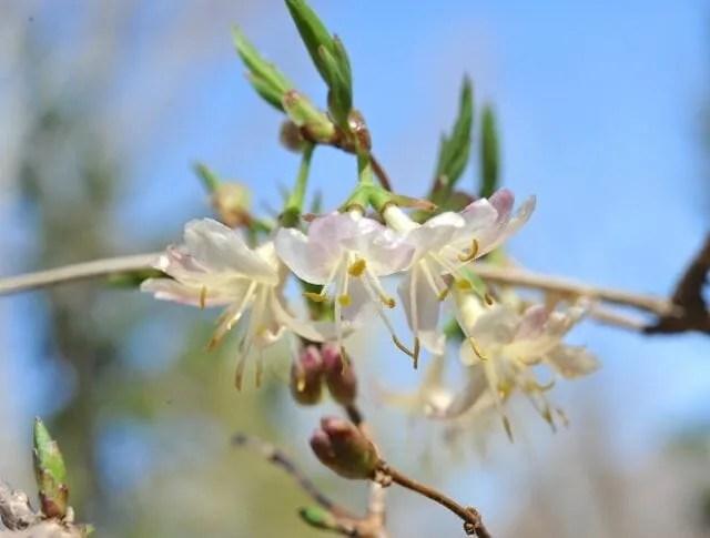 Beating forsythia to springs flowering shrub punch a slideshow of winter honeysuckle lonicera fragrantissima mightylinksfo
