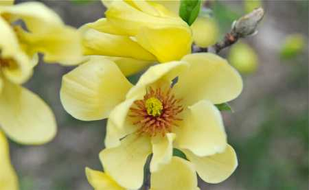 Butterflies magnolia