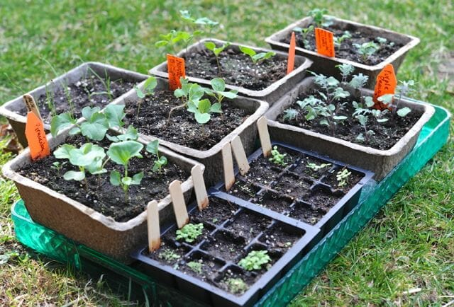 seedlings outdoors