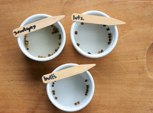 Beet seeds soaking before planting