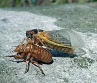 bring 'em on: the magic of periodical cicadas