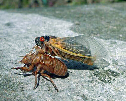 Periodical cicadas, photo copyright  U.S. Forest Service/ Bob Rabaglia