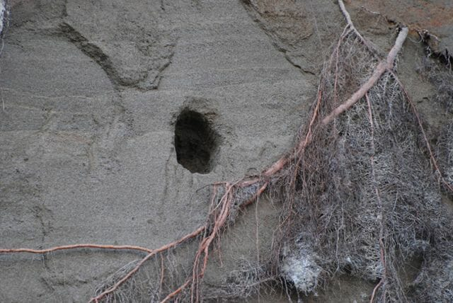 Belted kingfisher burrow in a bank.