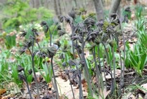 caulophyllum-blue-cohosh