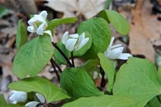 jeffersonia-or-twinleaf-flowers