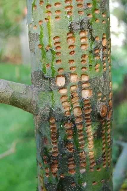 Pinus bungeana with sapsucker damage