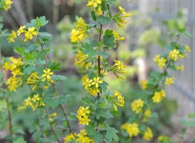 Clove currant, Ribes odoratum or Ribes aureum