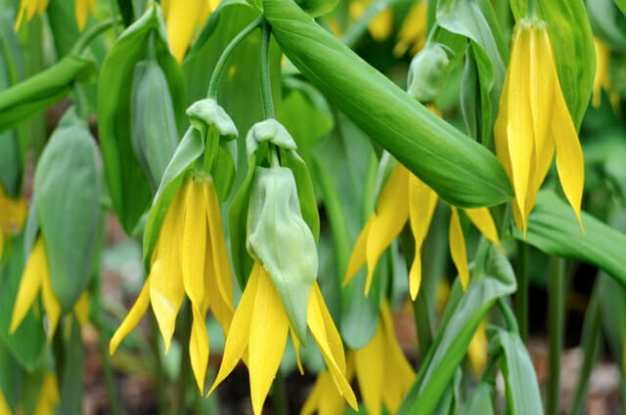 uvularia-grandiflora