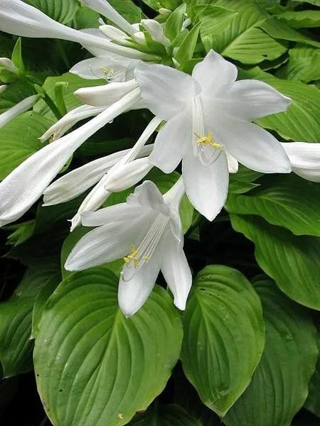 Hosta plantaginea (photo by Nova, from Wikimedia Commons)