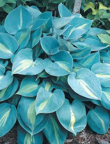 Hosta Touch of Class from Plant Delights