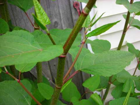 Knotweed image from Wikipedia