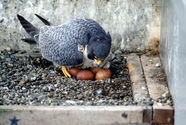 Peregrine falcon in manmade nestbox, by Ruth Taylor