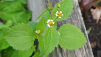 naming weeds hello galinsoga and commelina - Garden Weeds
