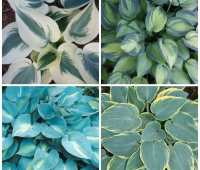 Blue Ivory, June, First Frost, Touch of Class (clockwise from top left, all from Plant Delights)