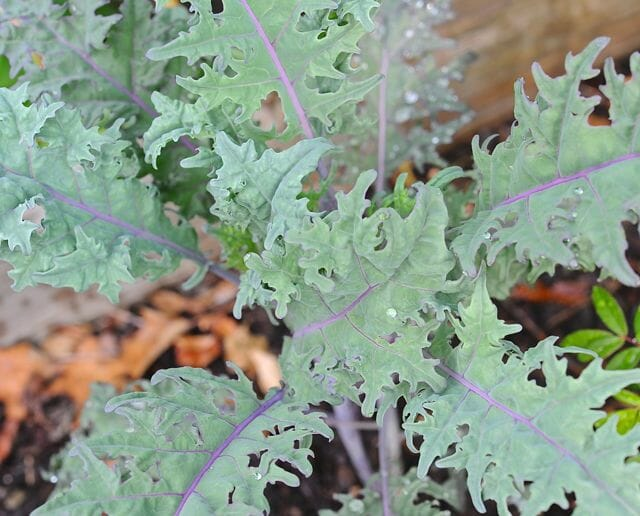 Young leaves of 'Purple Peacock' broccoli