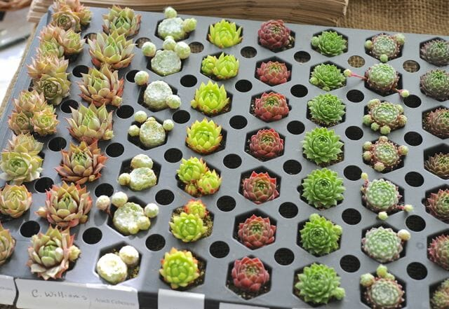 Plugs of succulents from Daffodils and More's Dave Burdick