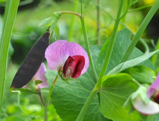 sugar magnolia purple snap pea flower
