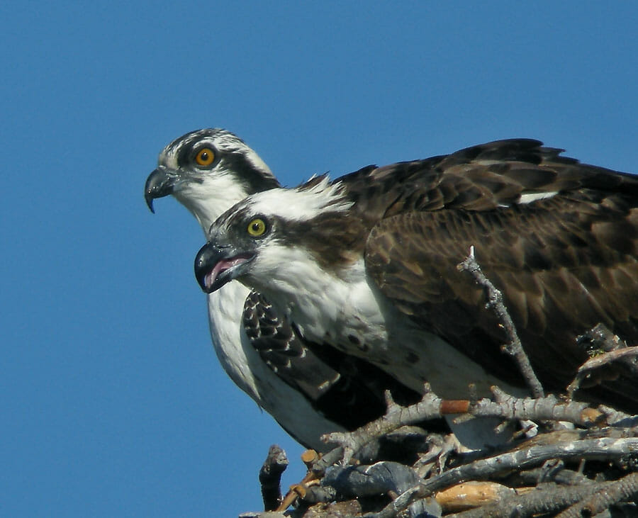Adult and fledgling osprey (fledgling in background); photo by Mike Hamilton.