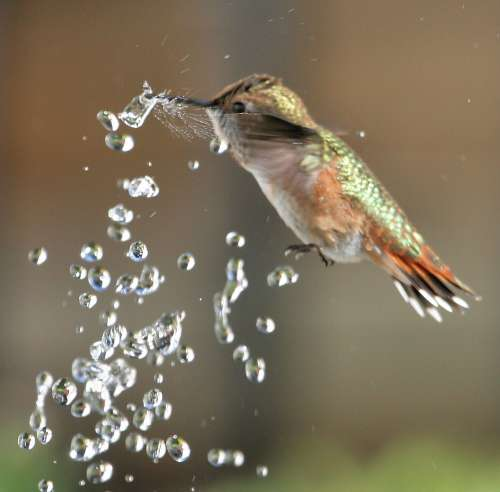 Rufous hummingbird in srpay of water, by Alandra Palisser