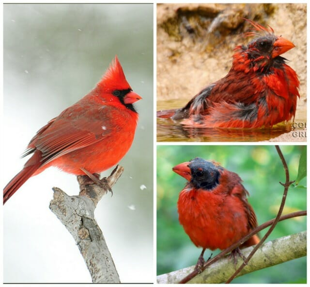 Cardinals, from peak plumage to summer molt; photos by Aditi the Stargazer, Greg Page, and Such a Groke