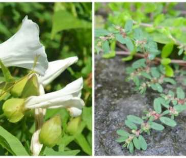hedge bindweeds (left) and spotted spurge
