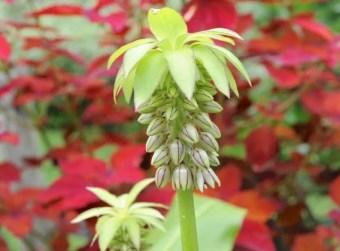 pineapple-lily-eucomis-bicolor-jpg