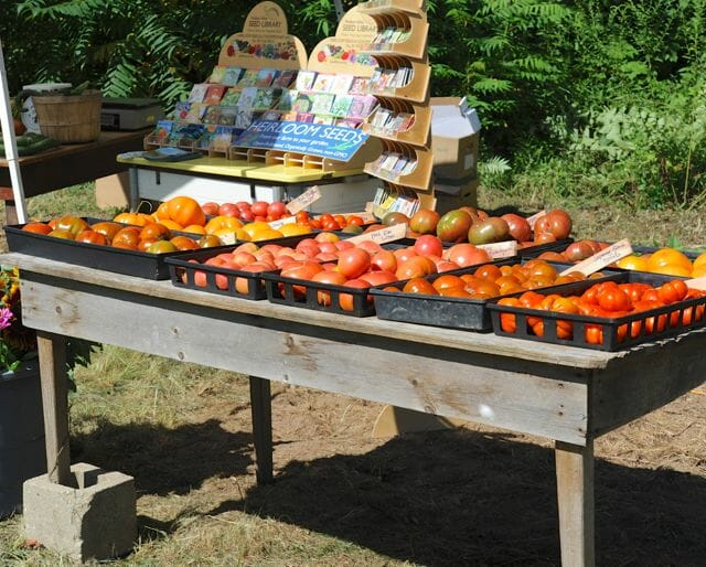 Harvested tomatoes at Hudson Valley Seed Library, August 2013.