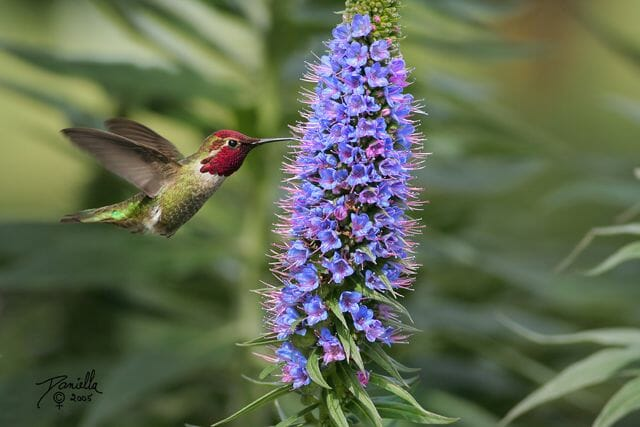 Anna's hummingbird © Daniella Theoret
