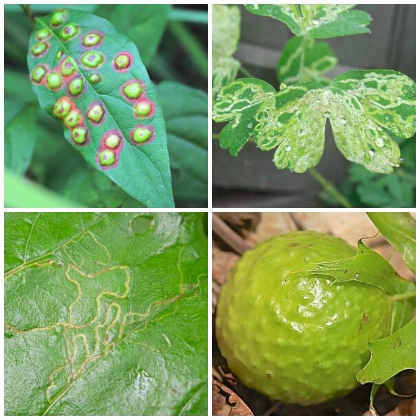 Leaf mines and galls