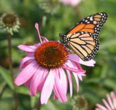 Monarch on confelower; photo courtesy Monarch Lab.