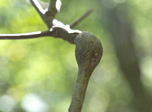 scrub oak swelling, Callirhytis quercussimilis