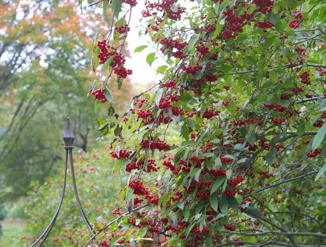 viburnum setigerum fruit